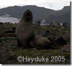 257 fur seal barking