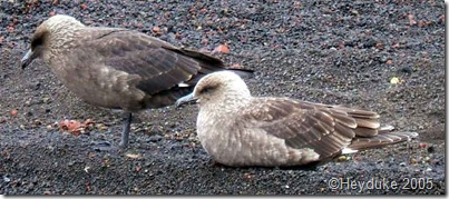 Antarctic Skuas