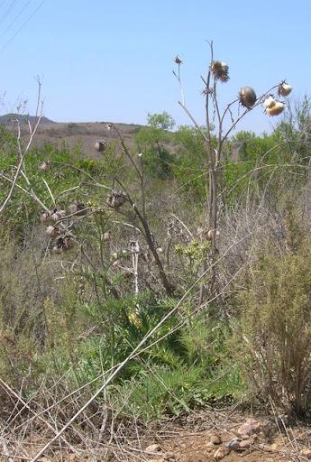die verwant is globe artichoke, cardoon hathichuk Late summer