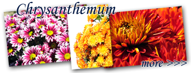 lightbox_Chrysanthemum