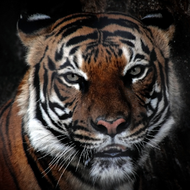 Now What by Elaine Malott - Animals Lions, Tigers & Big Cats ( cats, orange, big cats, animals, malayan tigers, nature, wildlife, tigers, stripes, felines )