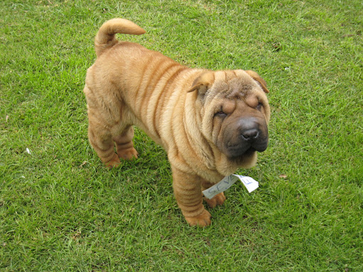 Adult male Shar-Pei staying on the grass