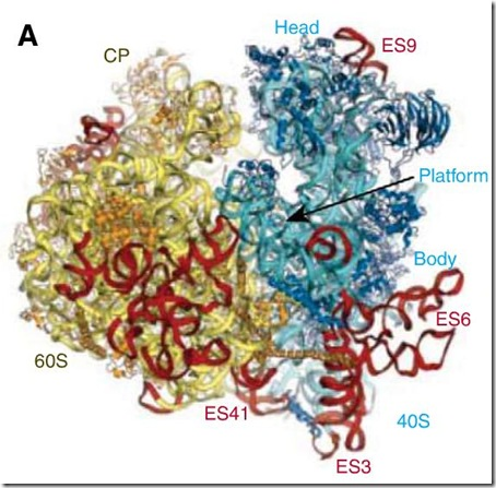 ribosoma