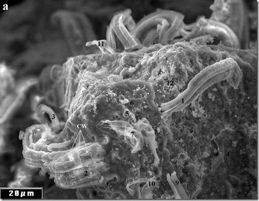 BioUnalm: ¿Se encontraron fósiles de cianobacterias en el ...