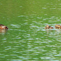 Common pochard (mother and ducklings)