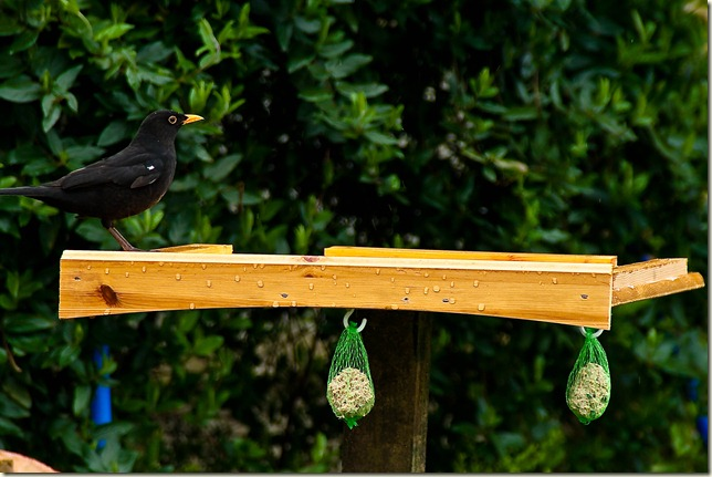 black bird on bird table-1-2