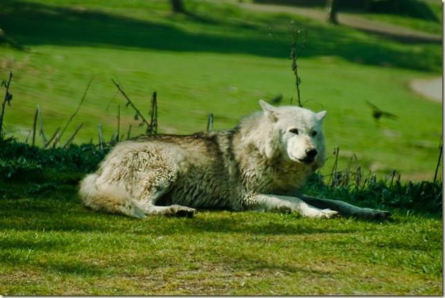 wolf-1-3