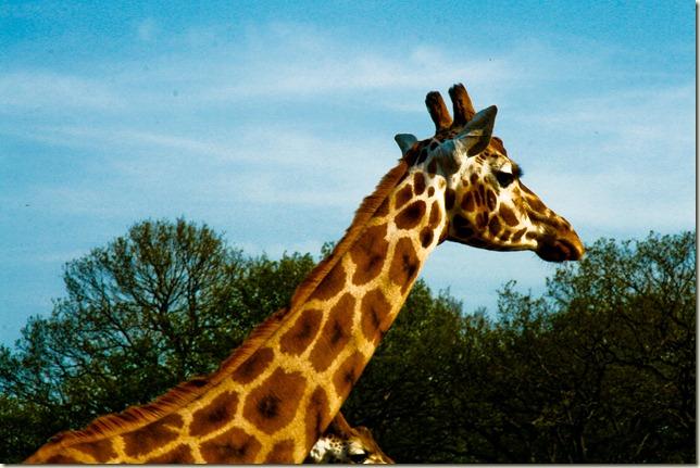 giraffe-1-2