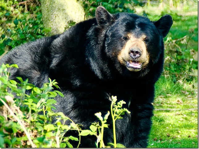 black bear in greenary-1-2