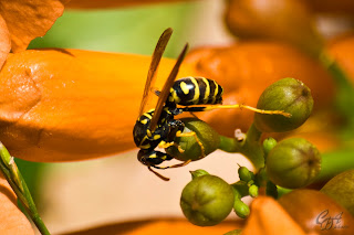 Yellow-jacket wasp on a flower