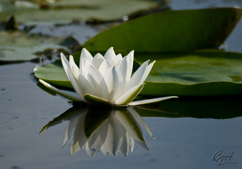Waterlily (Nymphaea Alba)