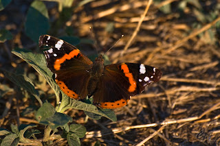 The Red Admiral (Vanessa Atalanta) butterfly