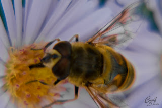 Drone Fly (Eristalis tenax) close-up