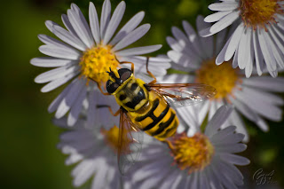 Hoverfly (Syrphus Ribesii) on a flower