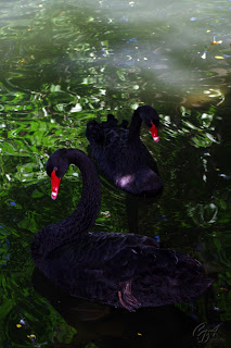 Black Swan Cygnus atratus) on the lake
