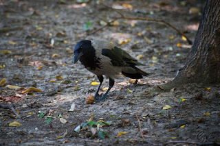 Hooded Crow (or Hoodiecrow - Corvus cornix)