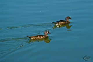 Mandarin Ducks (Aix galericulata - hens) on the lake