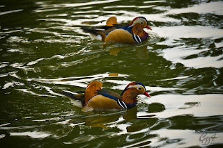 Mandarin Ducks (Aix galericulata - drakes) on the lake