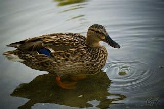 Female Mallard wild duck (Anas platyrhynchos)