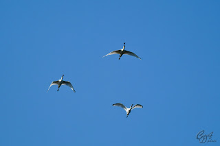 Eurasian Spoonbills or Common Spoonbills (Platalea leucorodia) in flight