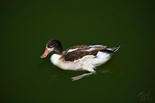 Common Shelduck (Tadorna tadorna) female on a lake.