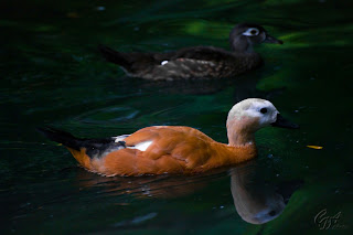 Ruddy Shelduck (Tadorna ferruginea) on a lake