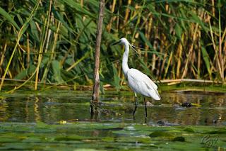Little Egret (Egretta garzetta) in the Delta Of Danube Natural Reservation