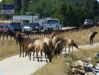 Estes Park Elk 4