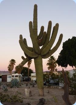 Yuma Caravan Oasis RV Resort Cactus