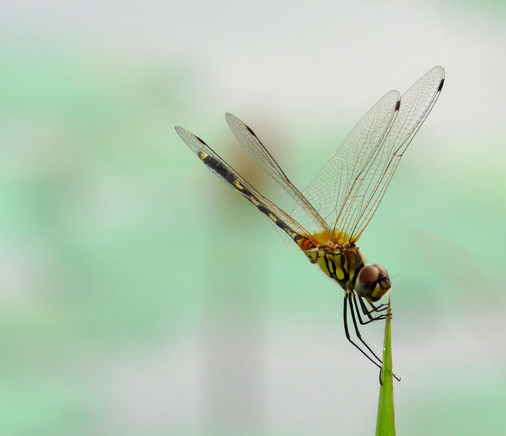 Striped Dragonfly in Acrobatics