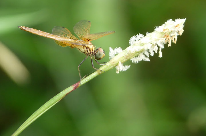 Bronze Dragonfly in Bloom 1