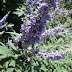 Butterfly plant attacts big bee