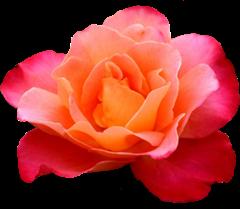 ROSAS_LADY_MEL (7)