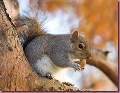 777px-Eastern_Grey_Squirrel_in_St_James%27s_Park%2C_London_-_Nov_2006_edit