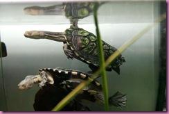 800px-Eastern_long_neck_tortoise_-_chelodina_longicollis03