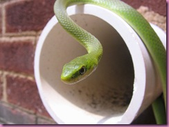 800px-Green_snake_on_wall_drain
