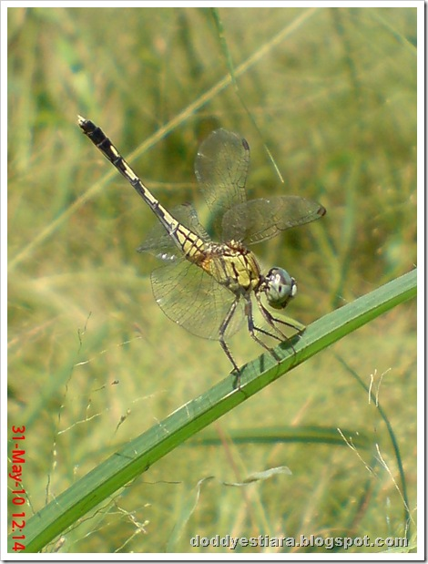 litle dragonfly 04