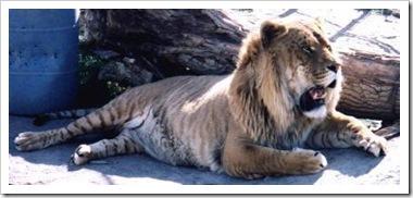 liger lion tiger