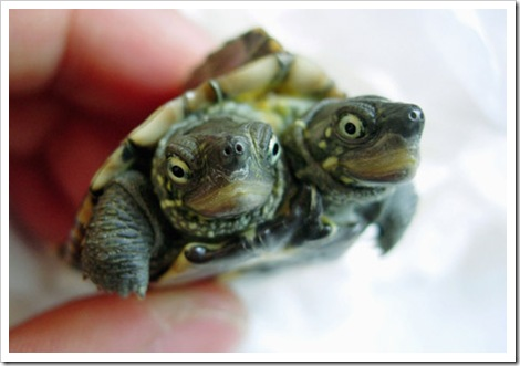 2-headed-turtle