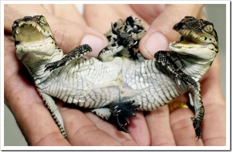 two-headed baby crocodile