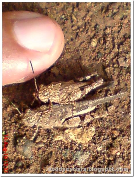 brown grasshopper mating 16