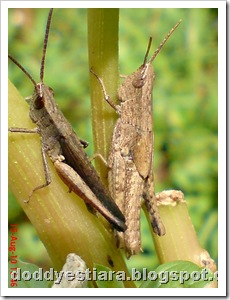 two brown grasshopper 05