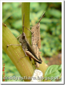 two brown grasshopper 03