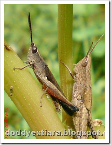 two brown grasshopper 06