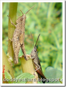 two brown grasshopper 10