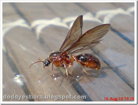 brown flying ant 01