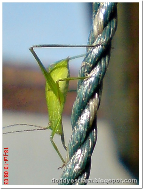 small green grasshopper 07
