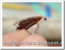 small moth ngengat kecil 07