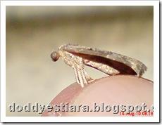 small moth ngengat kecil 04