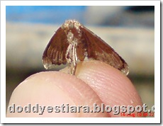 small moth ngengat kecil 06
